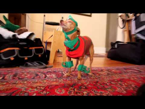 Vibrating Chihuahua in Christmas elf outfit.