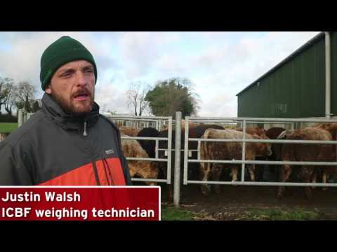 Farmer Know How - Weighing Cattle