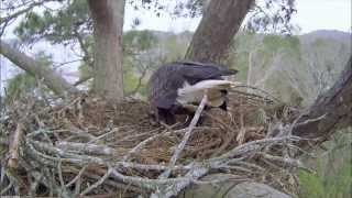 Harrison Bay Eagle Cam video from 12-5-13.  Eloise rules the roost in this video.  She is working to ready the nest for this season.  You can see Elliott perk on a tree behind the nest and fly in.  The true decorator of the nest is quickly revealed.  I feel kind of sorry for Elliott.