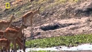 Video Animals Documentary - War for survival of wildlife in dry river MP3, 3GP, MP4, WEBM, AVI, FLV Desember 2018