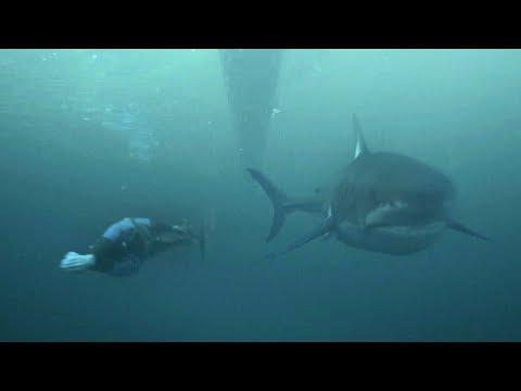 Michael Phelps races a white shark