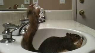 Pet Squirrel Playing In Sink