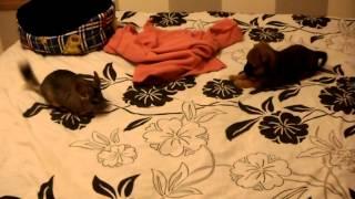 Chinchilla And Dog