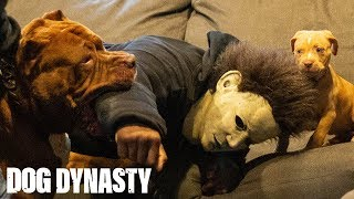 Home Invasion! Hulk Takes Down An Armed Intruder | DOG DYNASTY by Barcroft Animals