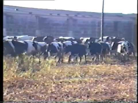 Explotación integral del ganado vacuno lechero.mpg