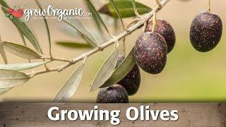 Planting Olives