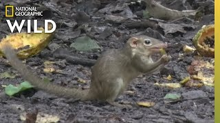 This Is Only the Second Mammal Known to Seek Out Spicy Food | Nat Geo Wild by Nat Geo WILD