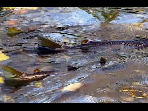 TROUT There SPAWNING