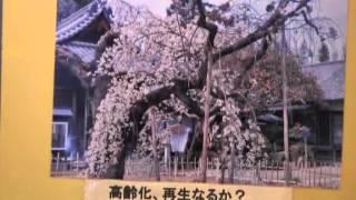 桜だより(2)市老連写真部展