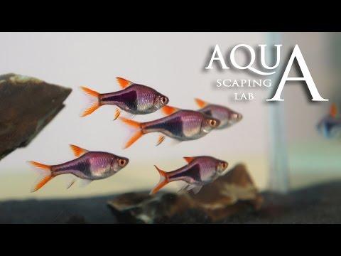 acquariofilia - rasbore o pesci arlecchino