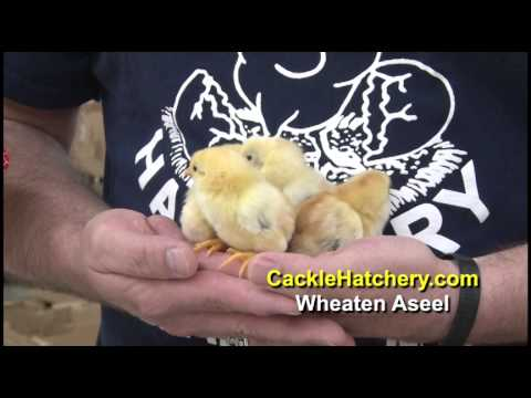 Asil (chicken) - The Wheaten Aseel (Asil) is a color variety of the Aseel (Asil) Chicken Breed. The Wheaten Aseel (Asil) Chicken Breed is hatched by Cackle Hatchery® Poultry ...