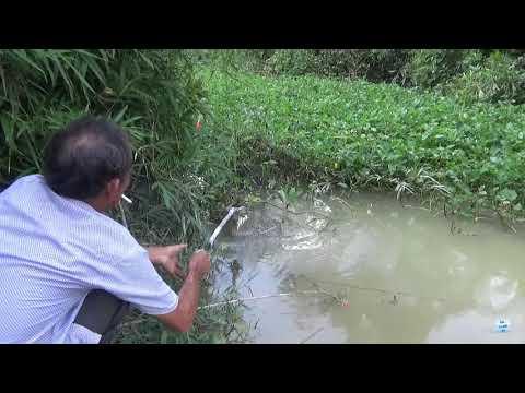 Câu cá rô phi suối - giật con cá run hết cả chân tay - Thời lượng: 5:57.