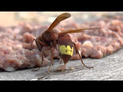 Σφήκες - Πρόβλημα και αντιμετώπιση