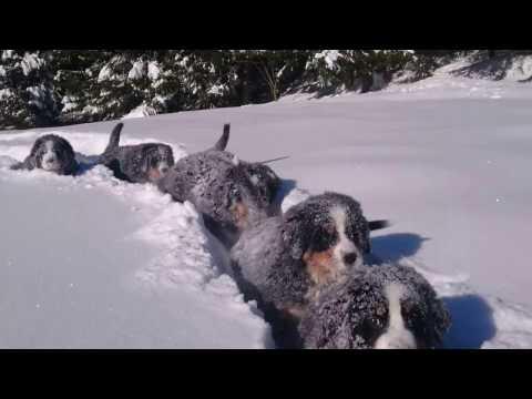 Koiranpennut nauttivat talvipäivästä – kivaa on!