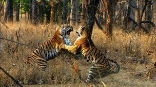 Tiger Cub's First Prey - David Attenborough - Tiger - Spy in the Jungle - BBC full download video download mp3 download music download
