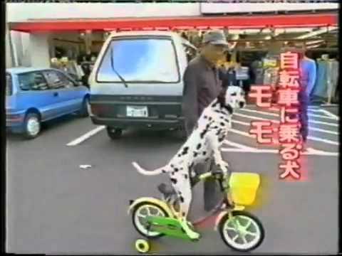 Kỳ lạ chú chó đi xe đạp như người