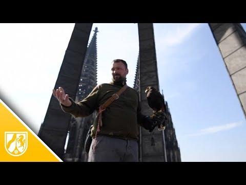 Kölner Dom: Falken und Bussarde sollen die Tauben vert ...