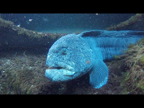 Meet Blanche the Wolf Eel видео