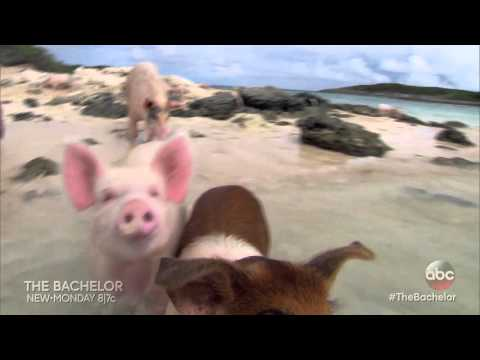 WATCH: The Bachelor Swimming With Pigs!