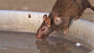 Visité el templo sagrado de las ratas en la India...
