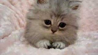 kittens for sale Tiger Lily - Persian Kittens For Sale!