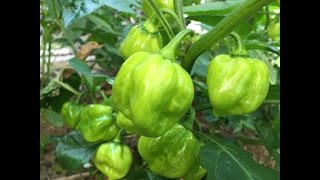 The garden is looking great. We are growing tomatoes, habanero peppers, chill peppers, kale, swiss chard Social Media: Twitter:...
