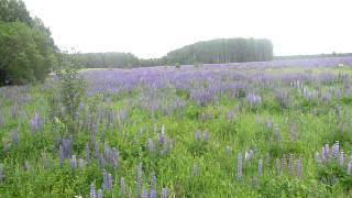 поле с синими цветами