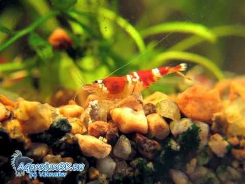 Srimp Cristal Red (Caridina cf. cantonensis) (видео)