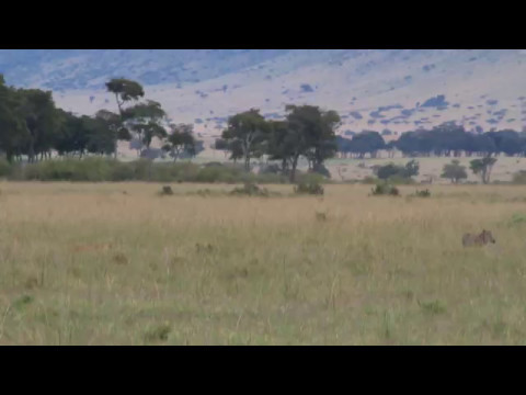 Video Lions cooperatively hunt warthog download in MP3, 3GP, MP4, WEBM, AVI, FLV January 2017