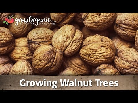 Walnut - Learn how to grow and care for walnut trees. Walnuts are a great source of protein and are rich in Omega-3 fatty acids. These beautiful trees are hardy to US...