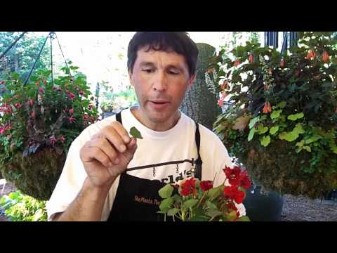 Willi Galloway - Willi Galloway gave us a great tip on eating Nasturtium. Not only is it a great trailing option for your baskets and containers, but it tastes good too.
