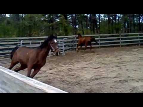 Horses playing around on Boarding ranch   Bohemia Long Island NY