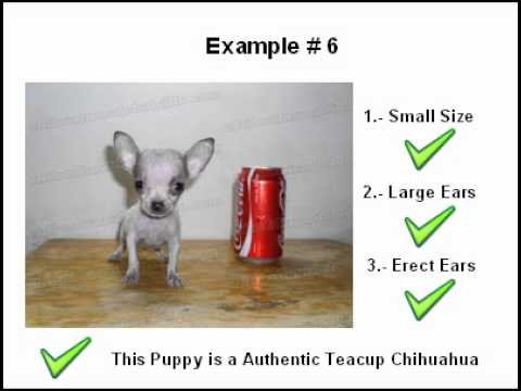Identify Teacup Chihuahuas Puppy