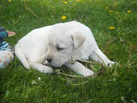 cooper at 4 weeks of age a akc male creme lab puppy