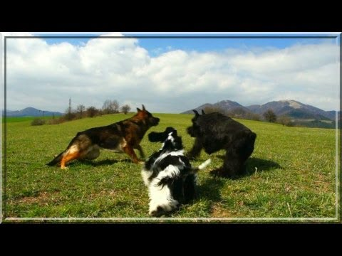 german shepherd dog vs american cocker spaniel vs schnauzer