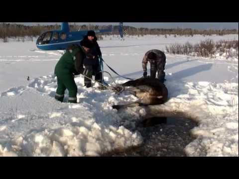 Спасение лосихи & 拯救麋鹿 & Saving the Moose