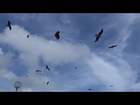 Rợn người  cảnh bầy chim ưng săn mồi - Thời lượng: 7 phút, 20 giây.