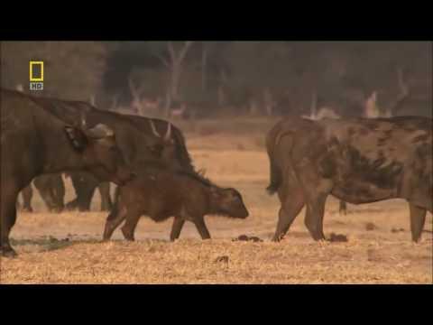 Дикая природа Африки .  Львы Африки  Натёнал Геограпхик  Нат Гео ВИЛД ХД