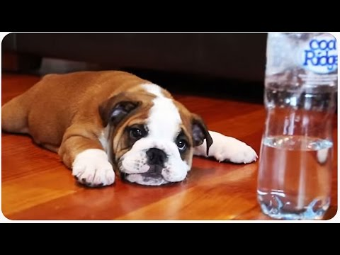 funny movie: puppy bulldog vs bottle!