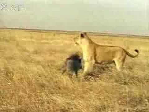 當獅子遇上了一隻儍野豬....無奈阿!!