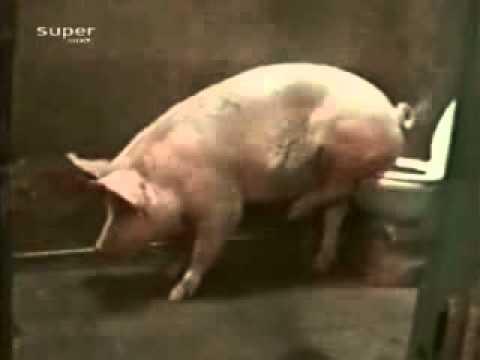 Lợn đi WC bằng bồn cầu, thánh cmnr =))