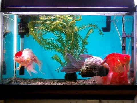 琉金と丹頂紅白と青文魚(Gold fish)