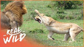 Video Predators In Peril [Big Cat Documentary] | Wild Things MP3, 3GP, MP4, WEBM, AVI, FLV September 2018