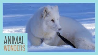 A Snowy Walk With Cas The Arctic Fox by Animal Wonders