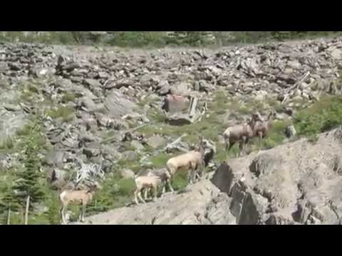 Rocky Mountain Sheep Bolts Across Road - A Close Call for Cyclist (видео)