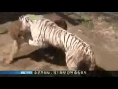 Hổ trắng đánh 2 Sư tử