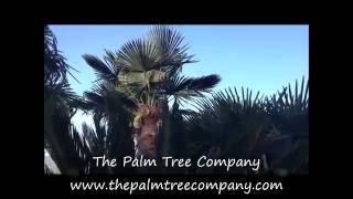 Premium Quality Hardy Palm Trees