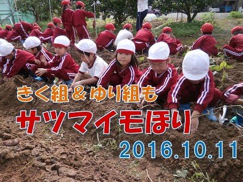 2016八幡保育園(福井市)サツマイモ掘り きく組&ゆり組編。今年はさつまいも大豊作!