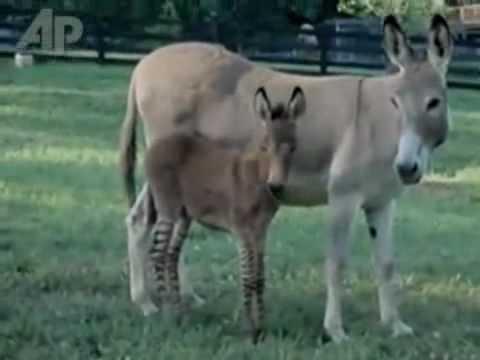 Youtube burros apareandose videos videos relacionados con youtube burros apareandose - Animales salvajes apareandose ...