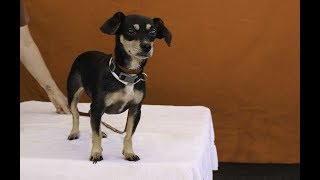 """A5090062 Izzy is a tender 6-year-old tricolor (black, caramel, and white) spayed female Miniature Pinscher and Dachshund mix whose owners surrendered her to the Baldwin Park Animal Care Center on July 16th because they had no time for her. Weighing 11 lbs, Izzy is as cute as can be with floppy ears and darling eyebrows (real name: """"pips""""). She's a little overwhelmed in the shelter and doesn't understand why she's there, but she warms up quickly and likes people when given a chance to socialize. Her energy level is medium to low and for now she prefers to be carried rather than to walk on a leash. Izzy shows some signs of neglect in her teeth and in her coat (some hair loss, or alopecia), but our volunteers think she will blossom into a great dog once she is a properly cared indoor pet and family member in a loving home.  For more information on this pet, contact volunteer UHA adoption coordinator Sandra at 323-350-7207 or sandraburkhardt07@yahoo.com.United Hope for Animals is not a facility. To CHECK THE STATUS of this animal, contact the BALDWIN PARK SHELTER in person, by phone or on their website:Address: 4275 Elton St, Baldwin Park, CA 91706Phone: (626) 962-3577Website: http://1.usa.gov/1oB6G0pIf you end up adopting this animal, please give a shout out to #unitedhopeforanimals @UnitedHope on social media,  leave a comment here as a thank you to our Volunteers, or donate to UHA at http://unitedhope4animals/donate. Thank you for looking! Please SHARE this animal if you are unable to adopt. United Hope for Animals links:ADOPTABLE PETS: http://goo.gl/gY1ReUFACEBOOK: https://www.facebook.com/UnitedHopeTWITTER: https://twitter.com/UHope4AnimalsINSTAGRAM: http://instagram.com/unitedhopeforanimalsWEBSITE: http://unitedhope4animals.orgOur Mission:United Hope for Animals is dedicated to reducing homelessness among companion animals through spay/neuter, shelter support, photography, video and networking of shelter animals in Southern California. It is an all-volunteer, non-"""